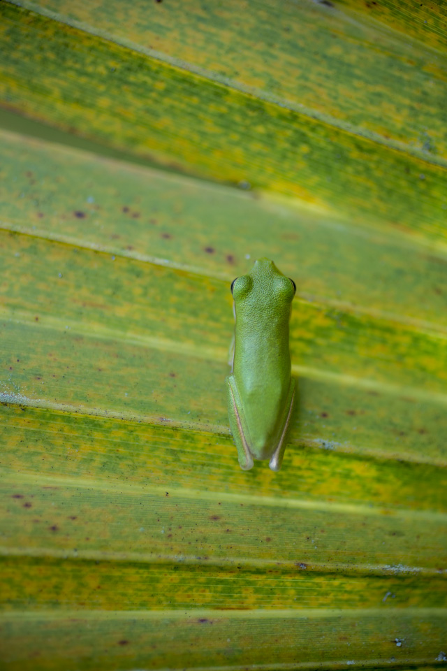 green treefrog on dwarf palmetto