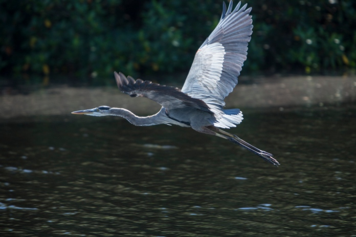 great blue heron in flight at flamingo bay