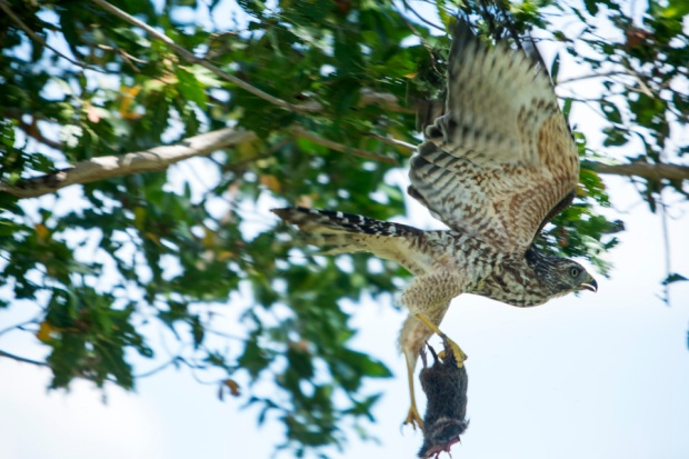 red shouldered hawk with kill