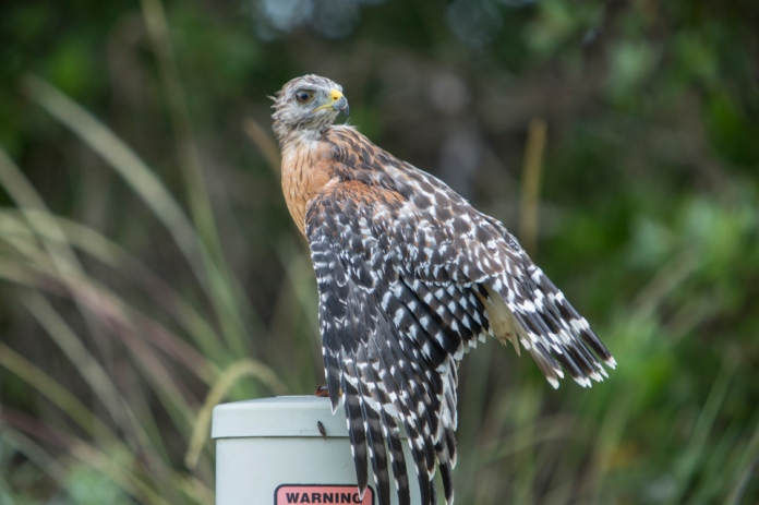 red shouldered hawk drying off after rain