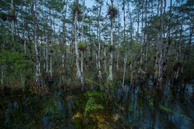 cypress forest swamp landscape