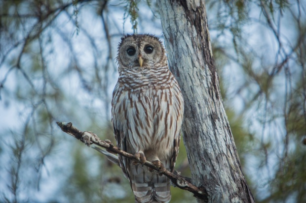 barred owl at dawn