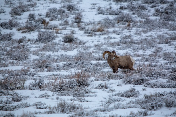 Lone Big Horn Sheep in the snow near Jackson, WY