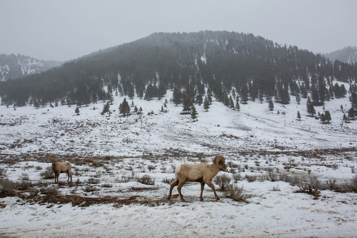 Big Horn Sheep in the snow near Jackson, WY