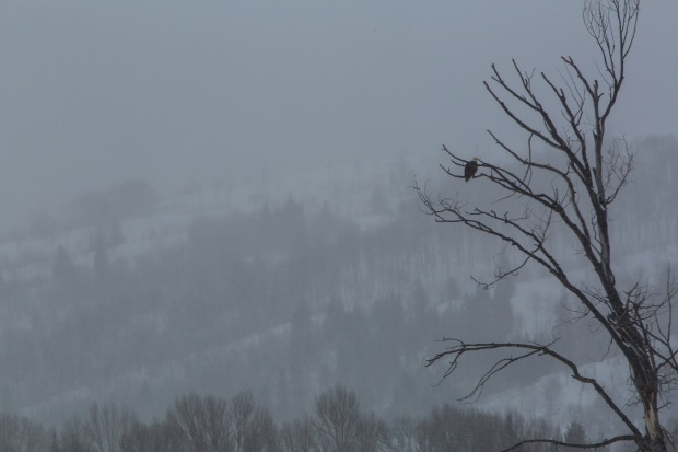 A bald eagle perched in a bare tree in Grand Teton National Park in the winter
