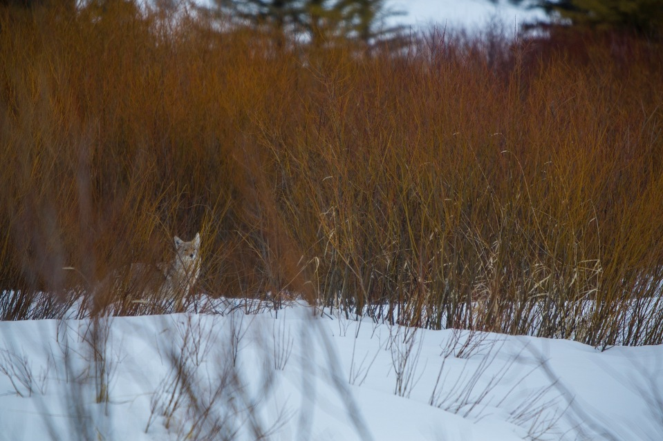 coyote in the snow near moran junction in grand teton national park, wy