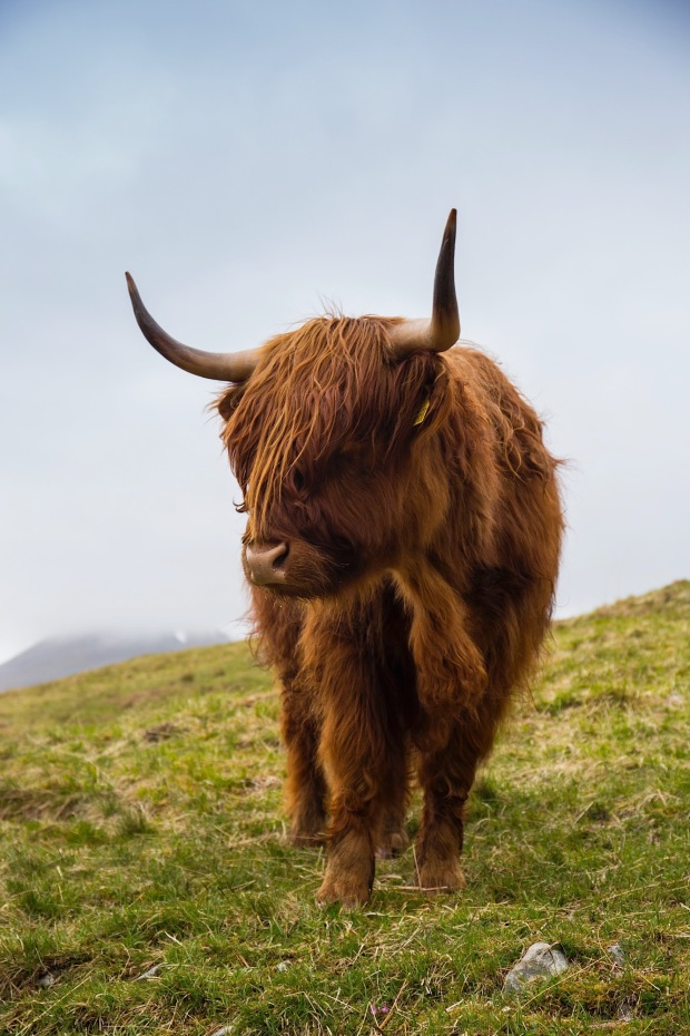 Highland cattle in spring