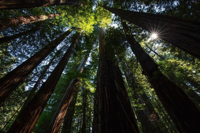 Massive old-growth trees in Humboldt Redwoods State/ National Park