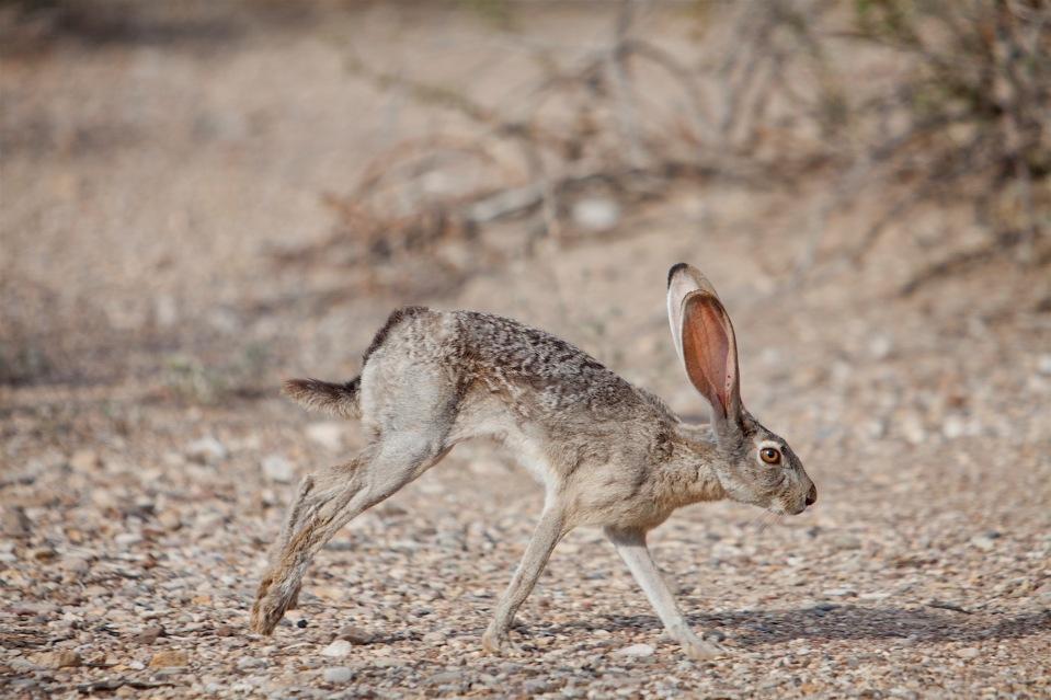 black-tailed jackrabbit in big bend national park, texas