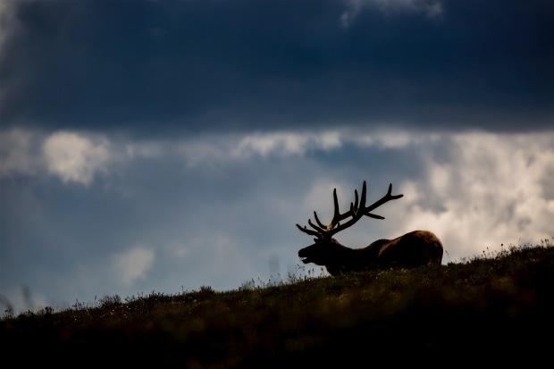 Rocky Mountain Bull Elk, Rocky Mountain National Park, CO