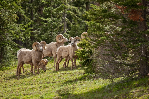 Bighorn sheep crossing the road in Rocky Mountain National Park, CO