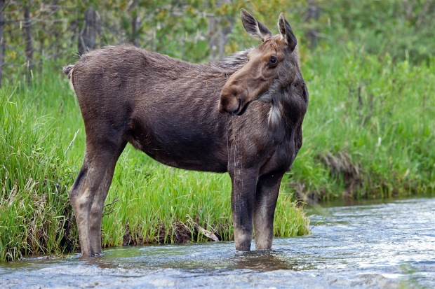 Cow moose in the Colorado River, Rocky Mountain National Park, CO