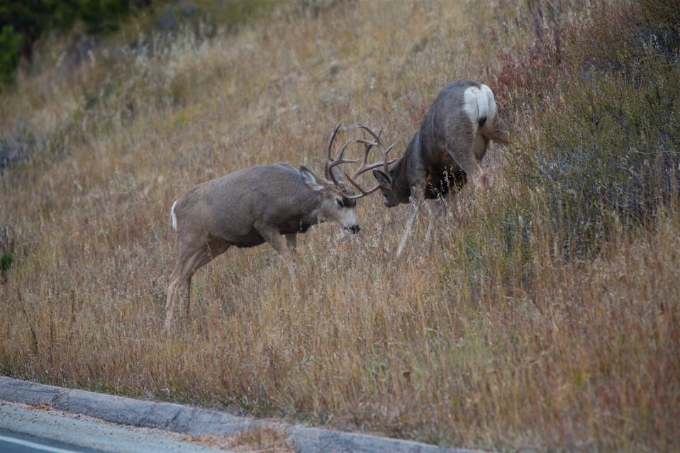 Two Mule deer bucks spar on the side of the road during the rut in rocky mountain national park.