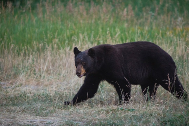 A large black bear near Pacific Creek in Teton National Forest