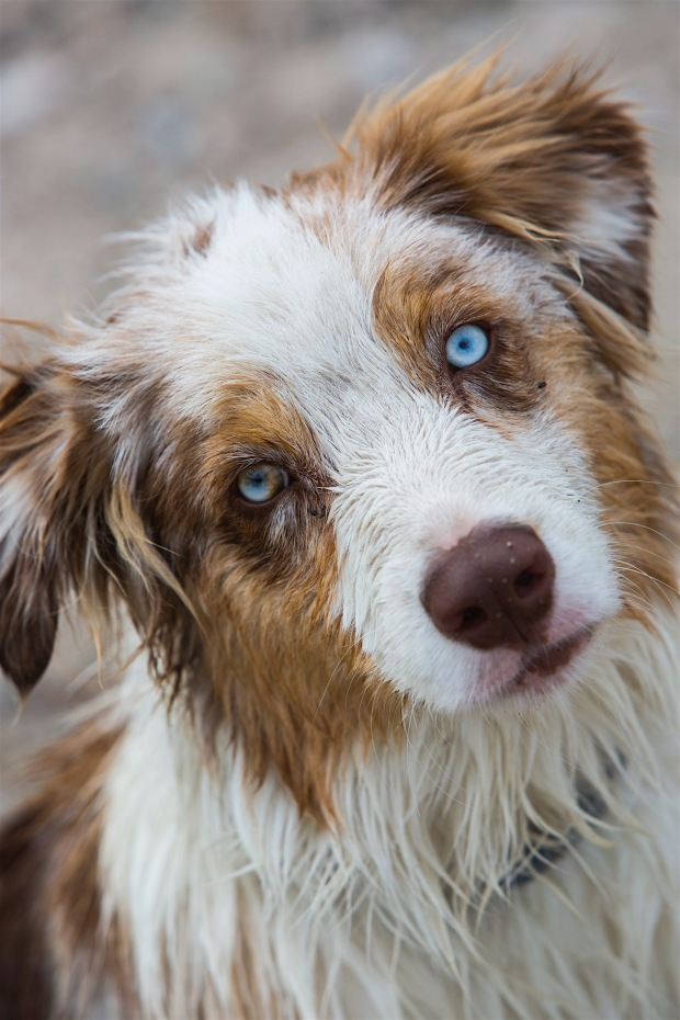 A 6 month old blue eyed red merle australian shepherd puppy