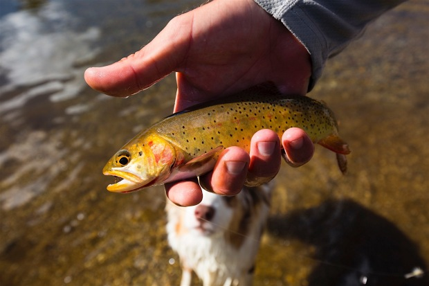 A man catches a cutthroat trout in the outlet from Lonesome Lake to the North Popo Agie River