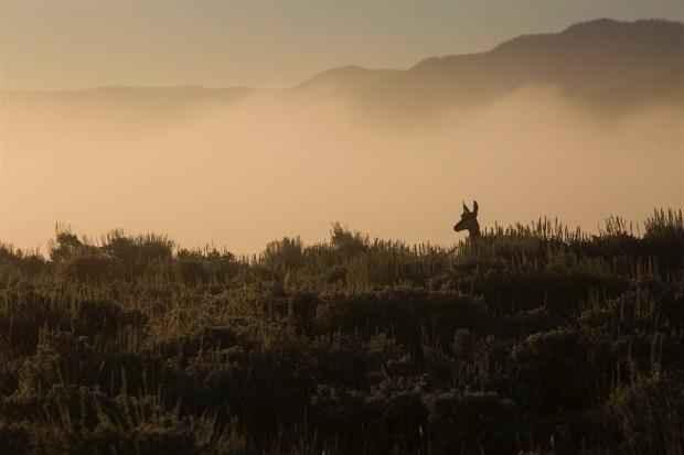 Pronghorn antelope through fog along the river road