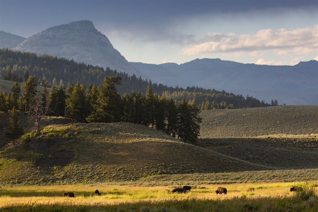 Bison roaming in the Lamar Valley