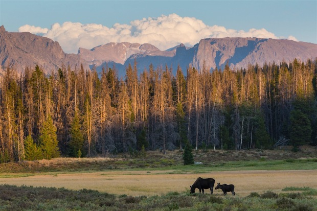 A mother moose with two young moose forage in a meadow on Moose-Gypsum road in the Upper Green River Valley