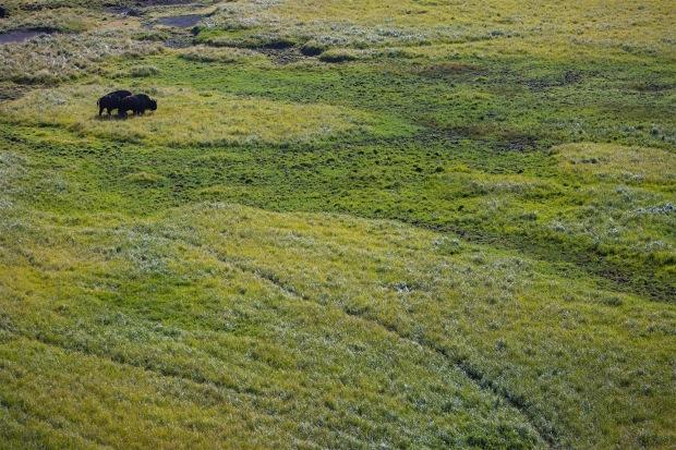 Bison in the Hayden Valley