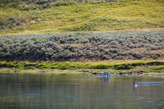 The Wapiti Pack along the Yellowstone River in the Hayden Valley